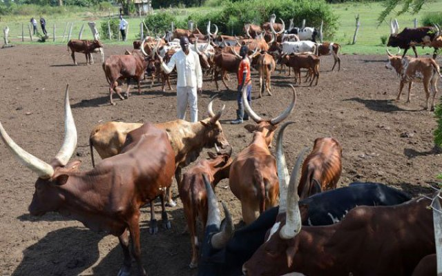 Photo of Uganda To Issue Cattle With 'Birth Certificates'