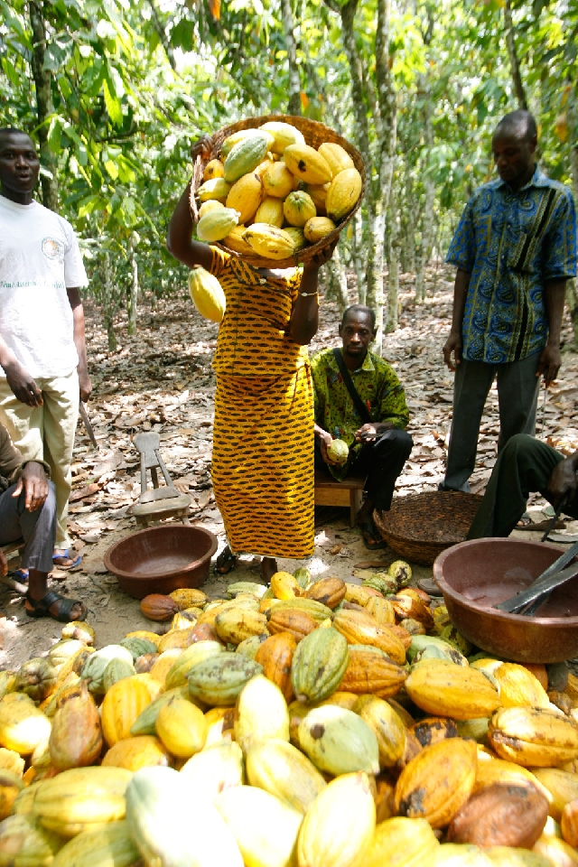Photo of Ghana Cuts 2019/2020 Cocoa Target To 850,000 Tonnes
