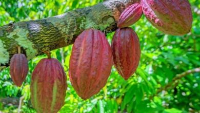 Photo of First-Ever Fine Flavour Cocoa Fermentation Centre Opens At Offinso